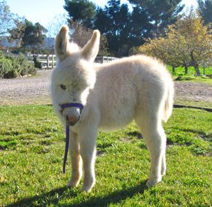Miniature Donkeys For Sale at Seein' Spots Farm Miniature